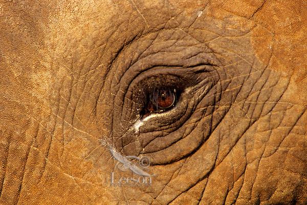 Wild African elephant (Loxodonta africana) eye.  Africa