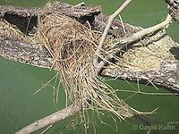 0701-1110  Social Flycatcher Nest (Vermilion-crowned Flycatcher), Enclosed Cup Nest Built Above Water, Belize River in Belize, Myiozetetes similis  © David Kuhn/Dwight Kuhn Photography