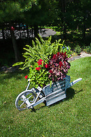 """Garden cart antique rustic weathered ornament wheelbarrow container garden with patriotic flag """"Old Glory"""" sign, ferns, annual flowers celosia, pelargonium, on lawn under Pinus strobus white pine tree"""