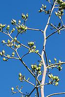 Amerikanische Agave, Früchte, Hundertjährige Agave, Agave americana, century plant, maguey, American agave, American aloe