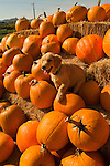Golden Retriever puppy sitting among pumpkins