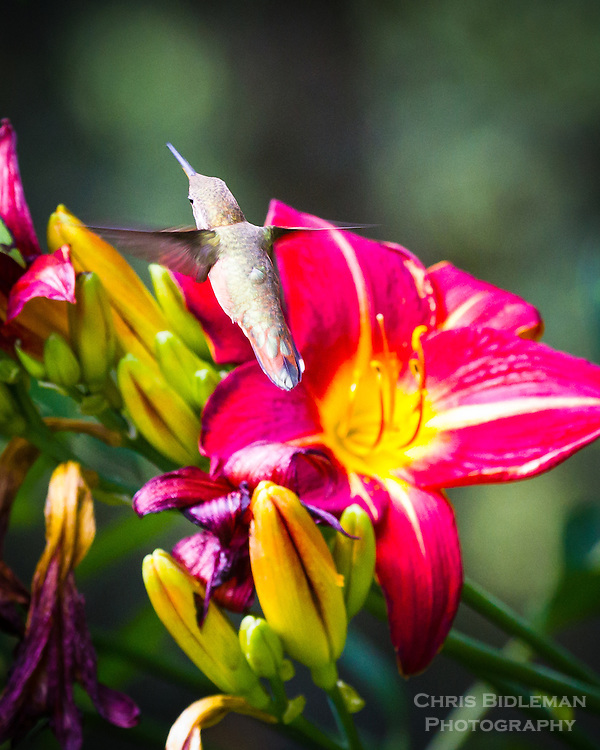 An Anna's Hummingbird (Calypte anna) is seen in flight above blossoming yellow and red daylilies (Hemerocallis).