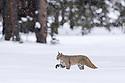 North American bobcat (Lynx rufus) walking through deep snow. Madison River Valley, Yellowstone National Park, Wyoming, USA. January