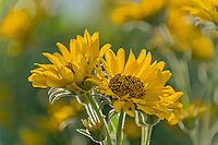 Arrowleaf Balsamroot (Balsamorhiza sagittata) blooming in the Columbia River Gorge, Oregon.  May.<br />