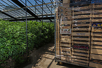 Switzerland. Canton Ticino. Sementina. Fioricultura Martinelli Sagl. New plants of cannabis CBD are grown in glass greenhouses. A pile of wooden crates wepaed in platic foil is stocked on a trolley. The business of growing cannabis CBD is registered with the Swiss Federal Health Office. Several Swiss companies cultivate CBD plants in greenhouses as a tobacco substitute or according to medical standards in order to produce blossoms, concentrates, and other CBD products (oils, extracts and tinctures). The Swiss legal requirements have a 1 percent THC limit compare to the European Union (EU) where the THC limit is limited to 0.3 percent. Cannabidiol (CBD) is a phytocannabinoid discovered in 1940. It is one of some 113 identified cannabinoids in cannabis plants and accounts for up to 40% of the plant's extract. Cannabidiol can be taken into the body in multiple ways, including by inhalation of cannabis smoke or vapor, as an aerosol spray into the cheek, and by mouth. It may be supplied as CBD oil containing only CBD as the active ingredient (no included tetrahydrocannabinol [THC] or terpenes), a full-plant CBD-dominant hemp extract oil, capsules, dried cannabis, or as a prescription liquid solution. 24.06.2019 © 2019 Didier Ruef