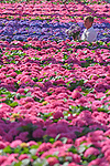 "Pictured:  Rory Paton of Pinetops Nurseries, examines the latest stock of Hydrangeas Blue and Pink and a bi-colour called Tivoli.<br /> <br /> Pinetops Nurseries in Lymington, Hants is a family business established in 1959 by the Paton family. The nurseries weekly crop consists of 6,000 oriental lillies and 2,000 hydrangeas, which twins Stuart and Ian nurture and tend to whilst Rory and his mum Jean sell the plants. <br /> <br /> The coronavirus pandemic has stalled sales at the nursery, as the nationwide lockdown has forced the closures of all garden centres. However the nursery has found that the business sales to supermarkets are up on last year.<br /> <br /> Mr Paton said ""With the hydrangeas we've been managing pretty well thanks to the supermarkets we already supply to, but the lillies sales are horrendous - about 90% down.""<br /> <br /> In order to keep the business afloat during the crisis, Rory has had to resort to using the flowers grown at the nursery as compost as they are unable to source the the supplies themselves.  <br /> <br /> ""We end up composting the lillies. If we can't sell it, we've got to bin it, and when they are beautiful and perfect, that's really awful"".