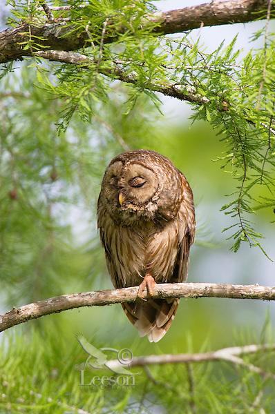 Barred Owl (Strix varia).  Southern swamp.