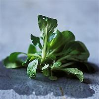 Europe/France/Pays de la Loire/44/Loire-Atlantique: Mache Nantaise  IGP - Stylisme : Valérie LHOMME //  France, Loire Atlantique, Nantes lamb's lettuce