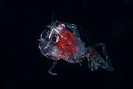 Crab Megalopa larva Anilao 2019