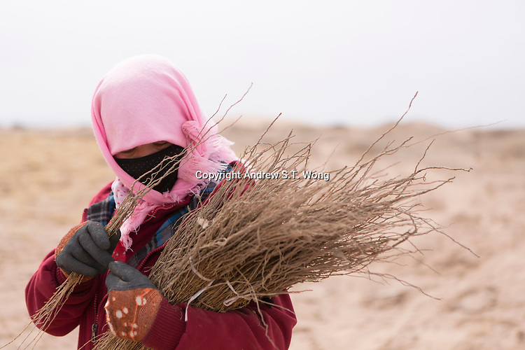A worker checks the seedlings of sacsaoul before planting them in the desert area as part of an afforestation project in Minqin county of northwestern China's Gansu province, 11 March 2017. Minqin county is located in between the Tengger Desert and the Badain Jaran Desert.