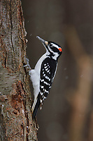 Adult male Hairy Woodpecker (Picoides villosus) on a cherry tree. Tompkins County, New York. February.