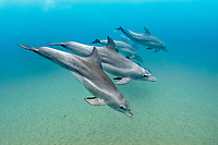 Indo-Pacific bottlenose dolphin, Tursiops aduncus, Sodwana Bay, South Africa, Indian Ocean