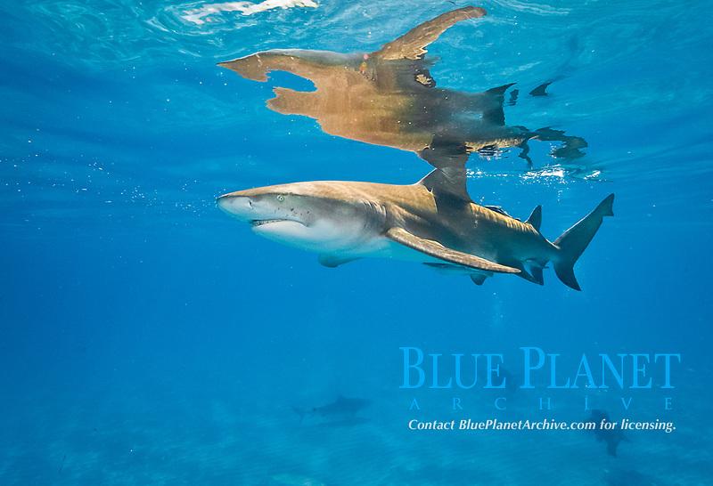 lemon shark. Negaprion brevirostris, Bahamas, Atlantic Ocean