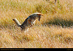 Coyote Pouncing on Vole, Willow Park, Yellowstone National Park, Wyoming