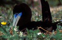 Brown Booby, male on nest, at Kure Atoll, Northwestern Hawaiian islands