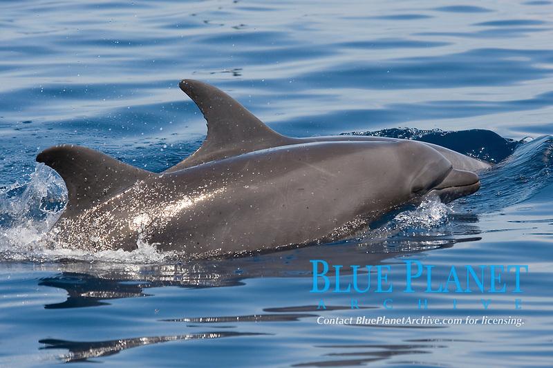 Common Bottlenose Dolphins, Tursiops truncatus, surfacing, Costa Rica, Pacific Ocean