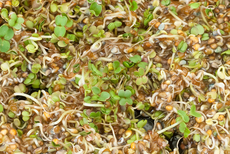 Microgreens Sprouts: Arugula aka Rocket Erica sativa