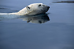 A polar bear swims through the water at Wager Bay, Nunavut, Canada.