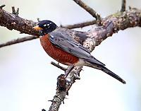 Adult male American robin