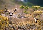 Black-tailed buck, Point Lobos State Reserve, California, USA
