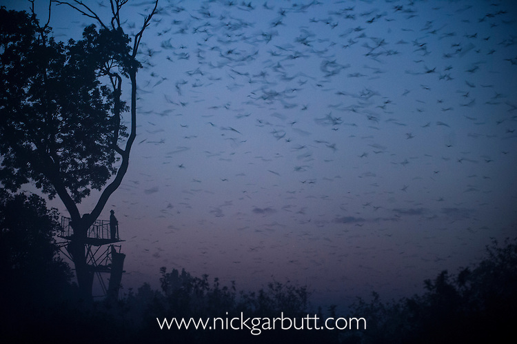 Tourist watching Straw-coloured Fruit Bats (Eidolon helvum) returning to their daytime roost pre-dawn (before sunrise). Kasanka National Park, Zambia.