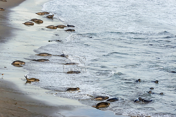 """Northern Elephant Seal (Mirounga angustirostris) pups (often called a """"weaners"""") leaving the beach in the evening to spend much of the night practicing their swimming skills in the ocean.  Central California coast."""