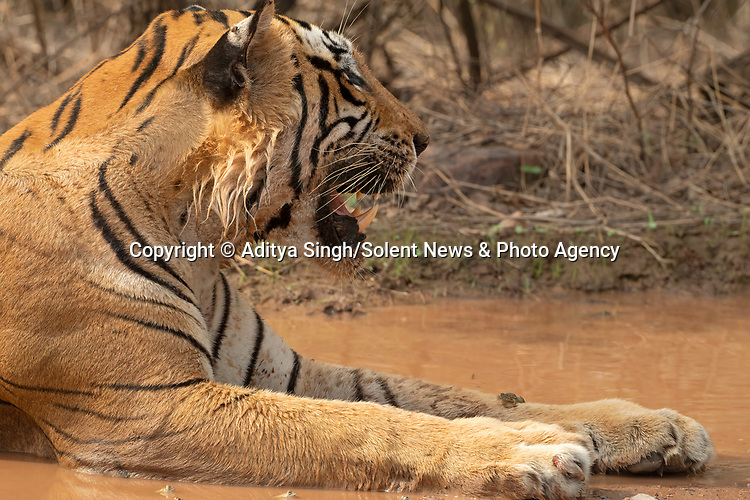 "Pictured: A brave frog lies on the back of a large tiger as it naps in a pool of water.   The little Indian skipper frog, which is just three inches long, had climbed onto the unfazed Bengal tiger as it lounged in a deep puddle of water to cool off in 40 degrees Celsius heat.<br /> <br /> Photographer Aditya Singh pictured the unlikely couple resting in Ranthambhore National Park in Rajasthan, India.   The 54 year old, from Rajasthan, said: ""The tiger didn't mind the frog being there.   SEE OUR COPY FOR DETAILS<br /> <br /> Please byline: Aditya Singh/Solent News<br /> <br /> © Aditya Singh/Solent News & Photo Agency<br /> UK +44 (0) 2380 458800"