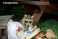 MA25-183z  Raccoon - young raccoon finding food in garbage can  - Procyon lotor