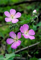 Wild Geranium (Geranium maculatum). Spring emphemeral woodland wildflower native to eastern North America. Delaware County, Ohio.