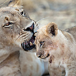 Female African lion (Panthera leo) with cub around 3 months of age. South Luangwa National Park, Zambia.