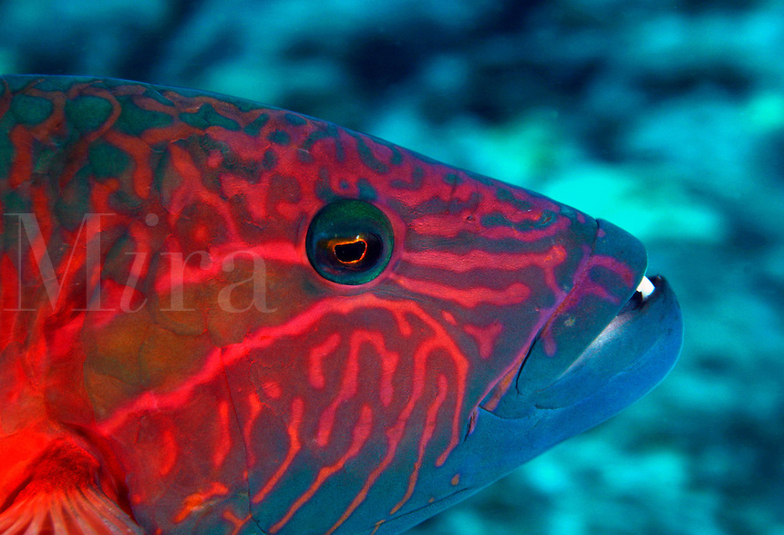 Ringtail wrasse, Oxycheilinus unifasciatus, reach 18 inches in length and feed on other fish, crabs, brittle stars and sea urchins. Hawaii.