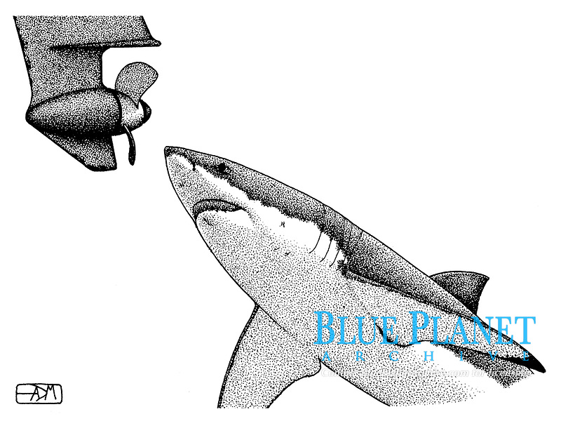 Great white shark, Carcharodon carcharias, approaching boat propeller, pen and ink illustration.