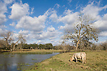 Brazoria County, Damon, Texas; a Charolais bull grazing on the grass at the edge of the slough in afternoon sunlight