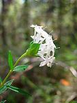 Slender rice flower-Pimelia linifolia