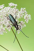 Moschusbock, Moschus-Bock, Moschusbockkäfer, Moschus-Bockkäfer, Aromia moschata, musk beetle
