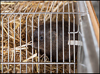 BNPS.co.uk (01202 558833)<br /> Pic: PhilYeomans/BNPS<br /> <br /> Water voles - Derek is breeding several species of native wild animals to populate his 'stone age' park.<br /> <br /> Back to the future - A farmer is returning his land back to the Stone Age and reintroducing species of wild animals once extinct in the UK - after becoming disenchanted with 'unsustainable' modern farming techniques.<br /> <br /> Derek Gow is using a herd of Nazi-engineered cows to spearhead his radical rewilding scheme that will create the farming version of Jurassic Park.<br /> <br /> The Heck cows that died out in the Iron Age were re-established in Nazi Germany in the 1930s as part of a genetics programme to create a breed of super cattle.<br /> <br /> Joining them on Mr Gow's 115 acre ring-fenced plot of upland in Devon will be rabbit-eating wildcats, wild boar and beavers.