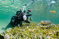 American crocodile, Crocodylus acutus, being photographed by divers, in seagrass meadow, Chinchorro Banks, Xcalak, Quintana Roo, Mexico, Caribbean Sea, Atlatnic Ocean
