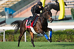 SHA TIN,HONG KONG-DECEMBER 08 : Poet's Word,trained by Michael Stoute,exercises in preparation for the Hong Kong Cup at Sha Tin Racecourse on December 8,2017 in Sha Tin,New Territories,Hong Kong (Photo by Kaz Ishida/Eclipse Sportswire/Getty Images)