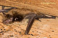 MA20-632z  Little Brown Bats, Myotis lucifugus