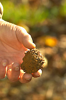 A truffle just dug out of the ground, but unfortunately this truffle is rotten since it has been in the ground since last season Truffiere de la Bergerie (Truffière) truffles farm Ste Foy de Longas Dordogne France