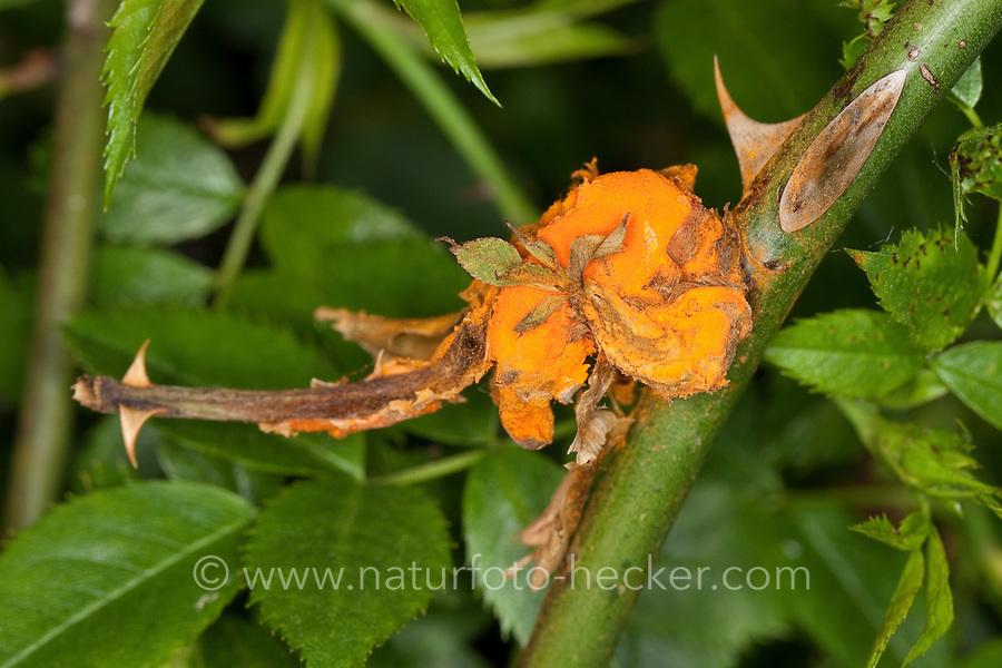 Rostpilz an einer Wildrose, Rose, Rost, Rosenrost, Pilzbefall, Rostpilze, Pucciniales, Syn. Uredinales, Urediniomycetes, Rust, Rusts, Pflanzenkrankheit