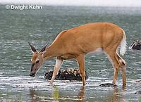 MA11-523z  Northern (Woodland) White-tailed Deer, Odocoileus virginianus borealis