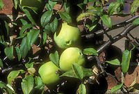 Chaenomeles cathayensis in fruit (Quince) against brick wall showing three fruits, branches and leaves . Chinese Quince