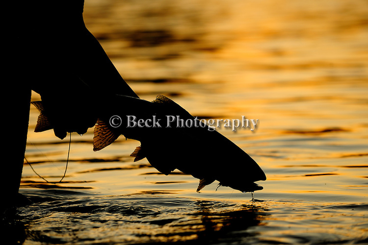 Brown trout on a hopper at sunset