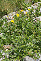 Acker-Gänsedistel, Ackergänsedistel, Gänsedistel, Sonchus arvensis, corn sow thistle, dindle, field sow thistle, sow thistle, gutweed, swine thistle, tree sow thistle, field sowthistle, field milk thistle, Perennial sowthistle, Perennial sow thistle, sow-thistle