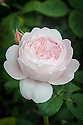 Rosa St Cecilia ('Ausmit'), late June. An English rose from David Austin with light pink or very pale apricot, highly scented, double flowers.