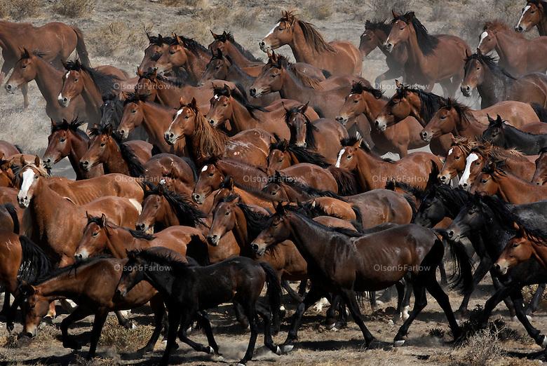 Hundreds of wild horses run through the dry Nevada desert in the Jackson Mountains.