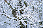 Traced into the intricacies of snow-dusted aspen branches, a great gray owl settles into his perch as day breaks over the Midwest plains.