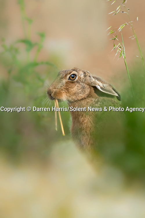 """WHAT'S UP DOC..... This hare looks like it could be auditioning for the Looney Tunes' character Bugs Bunny as the wild grass stem it's eatting alligns like two long front teeth.<br /> <br /> The photos were taken along the edge of a wheat field near Ventnor, Isle of Wight by Darren Harris who spotted the hare around 20 foot away from him through some long grass and weeds.<br /> <br /> Darren, 44, a horticulturalist who works and lives on the Island said, """"I could see it starting to eat the long grass stem. It then ducked it's head down and then reappeared with what looked like two long teeth.  I could see through the camera lens the 'long teeth' and just prayed I managed to capture it.""""<br /> <br /> """"I was so happy when I looked at the back of the camera and saw I'd captured the moment.""""<br /> <br /> Please byline: Darren Harris/Solent News<br /> <br /> © Darren Harris/Solent News & Photo Agency<br /> UK +44 (0) 2380 458800"""