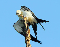This juvenile swallow-tailed kite seems to be doing a bird stretch